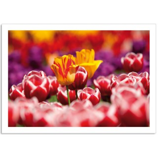 -Holland2700 ansichtkaart Tulpen rood geel