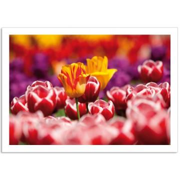 H2700 Tulips red yellow