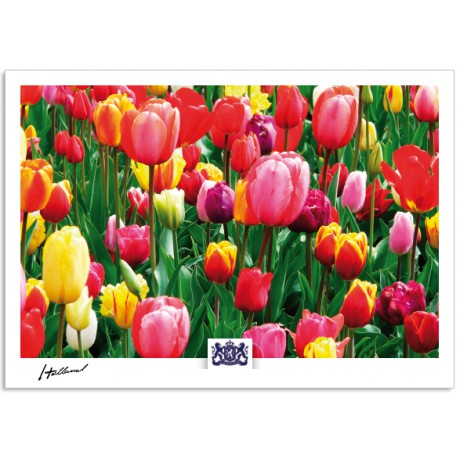 h17-004 Holland colorful tulips
