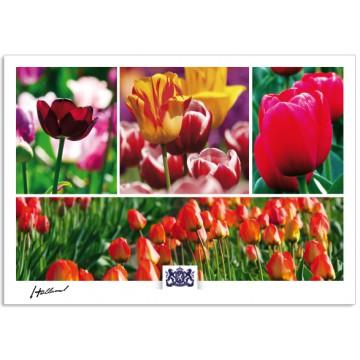 h17-007 Holland tulips, tulip field