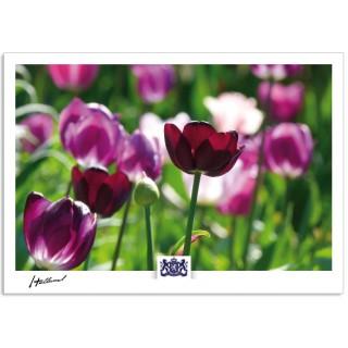 h17-008 Holland tulpen tulpenveld