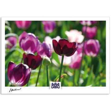 h17-008 Holland tulips