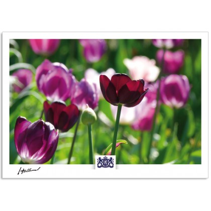 h17-008 Holland tulips