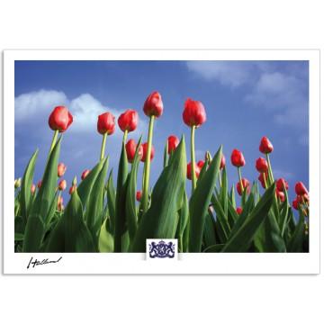 h17-010 Tulips blue sky