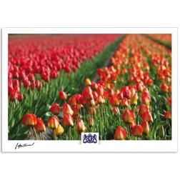 h17-011 Tulip field